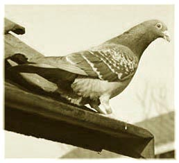alcohol licence homing pigeon